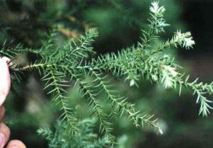 sanbu_leaf